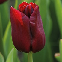 Tulip National Velvet (Triumph) Bulbs