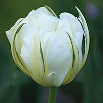 Tulip Exotic Emperor (Double Early) Bulbs