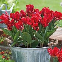 Tulip Rococo (Parrot) Bulbs