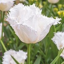 Tulip Swan Wings (Fringed) Bulbs