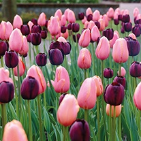 Tulip Pink Diamond & Queen of the Night Bulb Collection