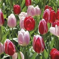 Tulip Candy Mixed Bulbs