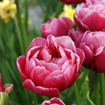 Tulip Wedding Gift (Double Late) Bulbs