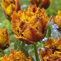 Tulip Bastia (Fringed) Bulbs