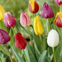 Tulip Mixed Colours Bulb Collection