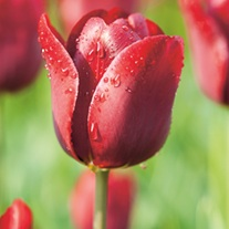 Tulip Jan Reus (Triumph) Bulbs