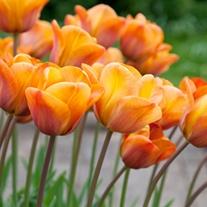 Tulip Annie Schilder (Triumph) Bulbs