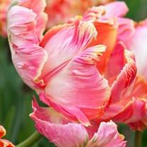 Tulip Avignon Parrot (Parrot) Bulbs