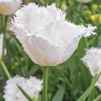 Tulip Daytona (Fringed) Bulbs