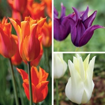 Lily Flowered Tulip Bulb Collection