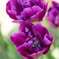 Tulip Blue Wow Bulbs (Double Late)