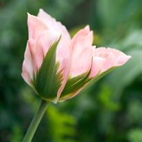 Tulip China Town Bulbs (Viridflora)
