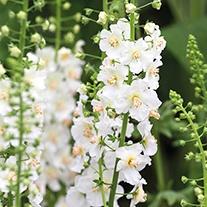 Verbascum Flush of White Flower Plants