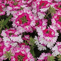 Verbena Sparkle Dark Pink Plants