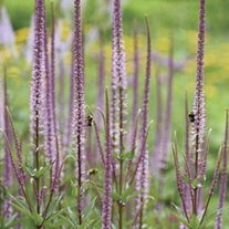 Veronicastrum Pink Glow Plants