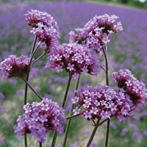 Verbena bonariensis Flower Plants