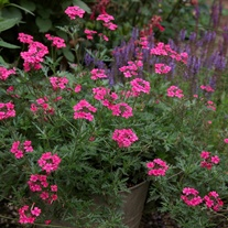 Verbena Sissinghurst Flower Plants