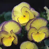 Viola Etain Flower Plants