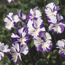 Viola Rebecca Flower Plants