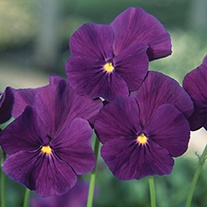 Viola Martin Flower Plants