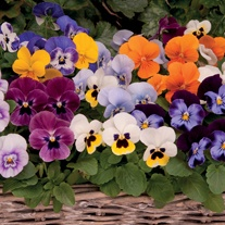 Viola Sorbet Mixed F1 Plants