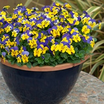 Viola Sorbet XP Yellow Blue Jump Up F1 Plants