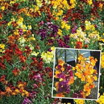 Wallflower Persian Carpet Mixed Plants