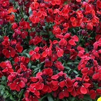 Wallflower Sugar Rush Red F1 Plants
