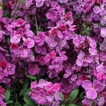 Wallflower Sugar Rush Purple Bicolour F1 Plants
