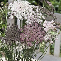 Wild Carrot Flower Plants
