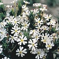 Zaluzianskya ovata Plants