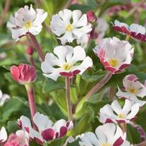Zaluzianskya ovata Night Phlox Flower Plants