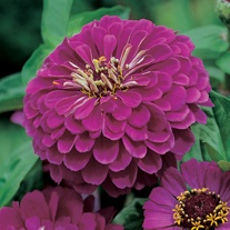Zinnia Purple Prince Plants