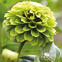 Zinnia Giant Lime Flower Plants