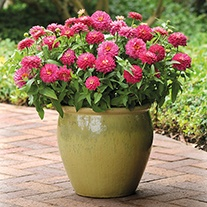Zinnia Zahara Double Strawberry Plants