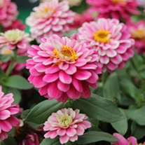 Zinnia Zahara Double Raspberry Ripple F1 plants