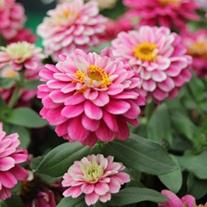 Zinnia Zahara Double Raspberry Ripple F1 Flower Plants
