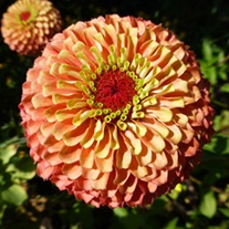 Zinnia Queeny Lime Orange Plants