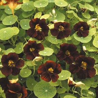 Nasturtium Tom Thumb Black Velvet Seeds