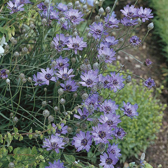 Catananche Cupid's Dart Seeds