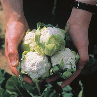 Cauliflower Long Season Cropping Seed Collection