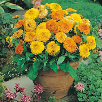 Calendula Pygmy Mixed Seeds