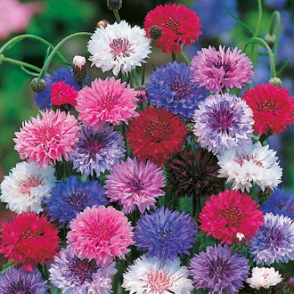 Cornflower Tall Mixed Seeds