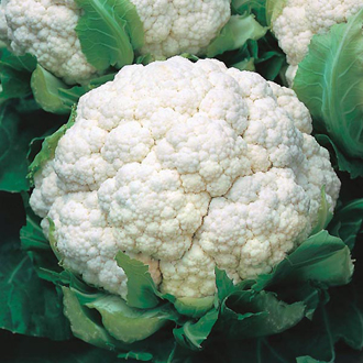 Cauliflower Walcheren Winter 3-Armado April Seeds