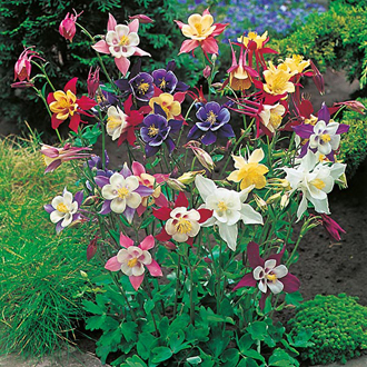Aquilegia McKana Giant Mixed Seeds