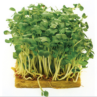 Sprouting Seed Mustard White