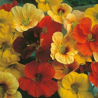 Nasturtium Tip Top Mixed Seeds