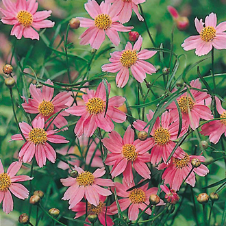 Coreopsis American Dream Seeds