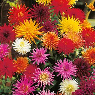 Dahlia Cactus Flower Hybrids Mixed Seeds