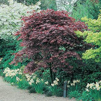 Acer palmatum Atropurpureum Seeds